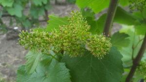 Fleur de vignes Billy 02-06-2017 - Champagne OUDEA